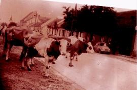 1950er Kühe im Dorf 13WE