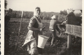1958 Fr. Rehberger bei der Weinlese 139RM
