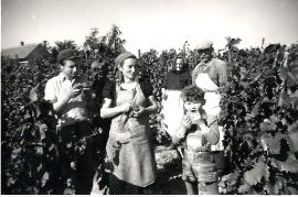 1957 Weinlese  A159